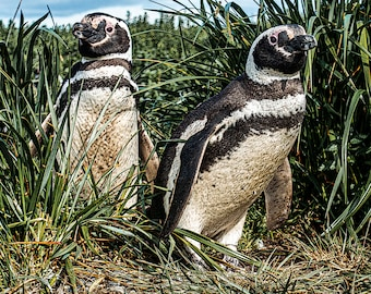 Landscape Fine Art Photography, Magellanic Penguins