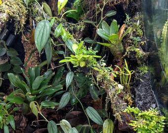 Philodendron 'Burle Marx Fantasy' / Cuttings / Vivarium / Terrarium / Tropical Plants