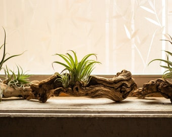 Sand Blasted Grapewood Branch (Small)   Air Plant Holder Home Decor Tabletop Desktop Boho Rustic Minimalist Natural Nature Setting Reptile