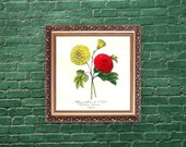 Botanical print, 1852, Le Maout, Chrysanthemum, French wall art, framing