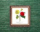 Botanical print, 1852, Le Maout, Chrysanthemum, French wall art, framing