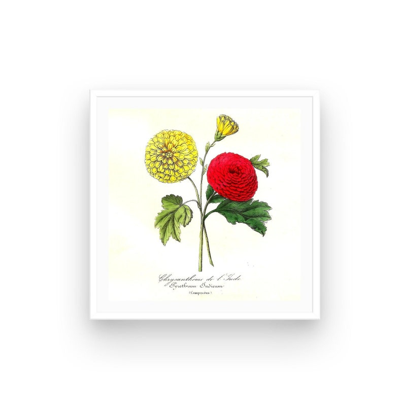 Botanical print 1852 Le Maout Chrysanthemum French wall image 0