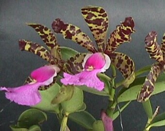 Live orchid plants | Leptospirosis orchids | Mounted orchids | Rare houseplants | Plant lover gift