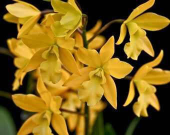Live orchid plants | Brassavola orchids | Mounted orchids | Indoor Topical life | Rare houseplants | Plant lover gift