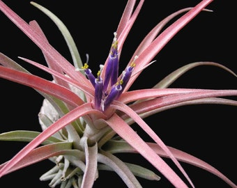 Live air plants | Tillandsia airplants | Mounted plants | Rare houseplants | Plant lover gift