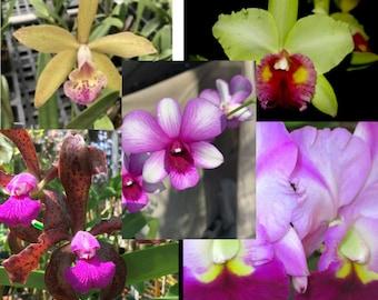 The 5-pack | Plant bundle | Live Orchid Plants | indoor live plants | Premium Orchids | Free Shipping
