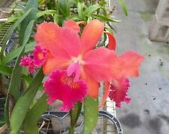 Live orchid plants | Cattleya orchids | Indoor Topical life | Rare houseplants | Plant lover gift