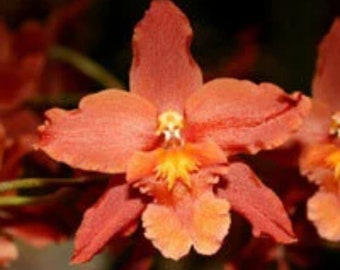 Live orchid plants | Oncidium orchids | Indoor Topical life | Rare houseplants | Plant lover gift | in BLOOM!