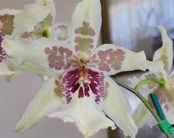 "Live orchid plants | Beallara orchids | Indoor Topical life | Rare houseplants | Plant lover gift | Beallara Tahoma Glacier ""Ithan"""