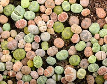 Baby lithop 1 year old, plant not seed, living stone, exotic succulent, cute plant, exotic succulent, colourful plant, house warming gift