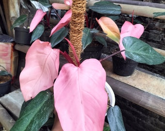 1-12 Plant Philodendron Pink Dark Lord By Ship DHL Express + Free Phytosanitary Certificate