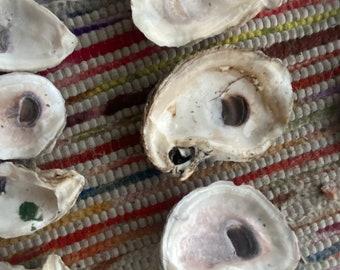 20 medium oyster shells