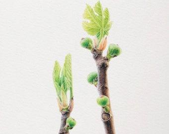 Fig Print, giclée print, Fruit illustration, Botanical print, watercolor painting, Gift, Fine art, Kitchen decor, Wall art, Nature print