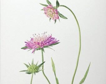 Wildflower Print, Botanical print, Field knautia giclée print, English Nature,  Watercolour illustration, Fine art, Wall decor, Plant Art