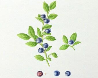Blueberry Print, giclée Art print, Forest berries, Botanical watercolour, painting illustration, Fine art, Decorative wall, Summer, forest