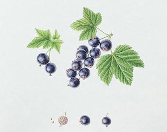 Black currant Print, Berry, giclée print, Fruit print, Garden berries, Botanical watercolour, illustration, Kitchen art, Decorative wall