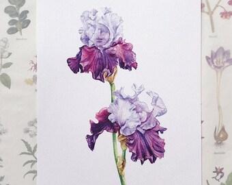 Irises. Botanical Art Print, Flower Painting, purple flower illustration, Watercolour, Fine Art, floral wall decor, gardener gift