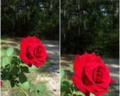 1 live plant Don Juan Climbing RED Rose 1 Gal. Upright Plant Disease Resistant Fragrant Roses