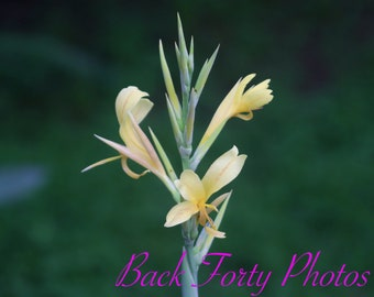 Canna Lily Blooming (digital photo download)