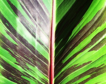 Musa sikkimensis 'Red Tiger' - 10 seeds