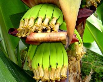 CAVANDISH BANANA 'Musa acuminata' x 10 seeds
