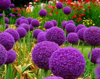 Allium 'Globemaster' - 20 seeds