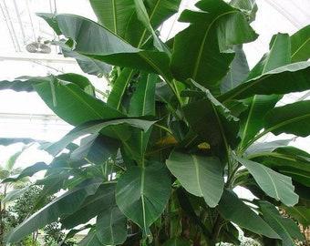 Musa sikkimensis - 10 seeds