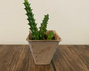 Three rooted Huernia Schneideriana Red Dragon Stalks in biodegradable pot.