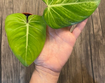 US seller - Philodendron Gloriousum - Two leaves - well rooted - 4in nursery pot