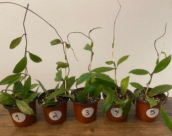 Hoya Pubicalyx Splash - 4in nursery pot - READ DESCRIPTION
