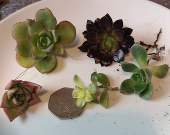 aeonium,5 different aeonium cuttings  10 pounds,, aeonium  cuttings , different aeonium,Please note we only sell to the UK