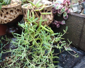 String of Bananas Senecio radicans     4 unrooted cuttings  five pounds  OR 20 LEAVES,        Please note we only sell to the UK