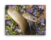 Canvas: Olive Snake (Lycodonomorphus inornatus)