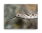 Canvas: Rhombic Egg-eater (Dasypeltis scabra) Snake