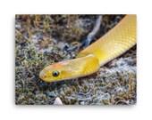 Canvas: Aurora House Snake (Lamprophis aurora)