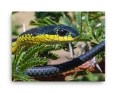 Canvas: Boomslang (Dispholidus typus) Snake
