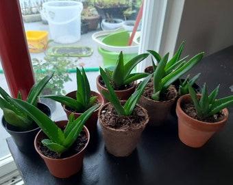 Aloe succulent pups (babies) propagation