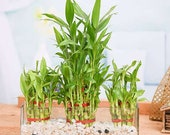 5 LUCKY BAMBOO Plant Stalks 6 Inch, Indoor Water Plants, Feng Shui, GIFT Pretty plant for your indoor