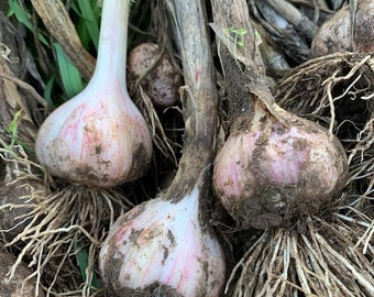 Rocambole Garlic Seed Chesnok Red HardNeck Naturally Grown