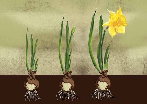 Poster 'Life of a Daffodil' A2