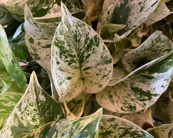 """Snow queen Pothos, variegated potho cutting and 4"""" pots"""