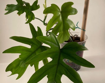 US Seller Philodendron Mayoi