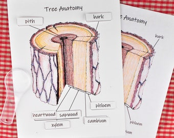 Tree Anatomy Unit Pack: plant science activity and classroom poster