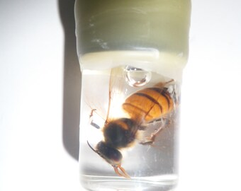 1 Real Swimming Honey Bee Wet SPECIMEN INSECT, What you see is what you get.