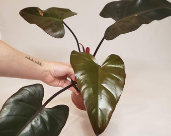 Philodendron DARK LORD , Rooted Established Plant, U.S. Seller, FREE Priority Shipping