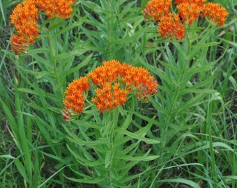 5 Butterfly Weed Plant Bare Root Asclepias Tuberosa Milkweed Plant Organic Pleurisy Root Bulbs for Planting