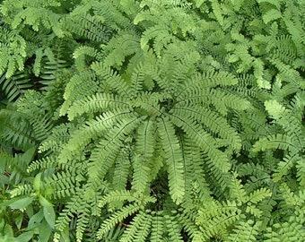 5 Maidenhair Fern Plant Bare Root Adiantum diaphanum Organic Roots