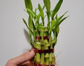 2 Tiered Tower Lucky Bamboo Plant Arrangement .gift. indoor plants.