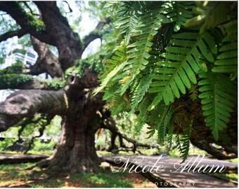 Treaty Oak | Jacksonville FL | Set of 5