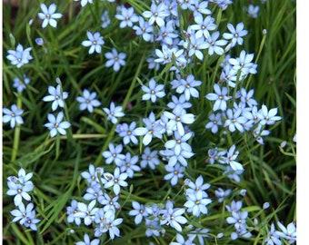 Blue-Eyed Grass (Sisyrinchium angustifolium 'Lucerne')
